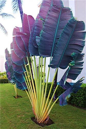 Amazon.com: 100 piezas de árbol de palma, Mini Sago Palmera ...