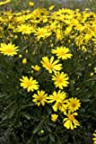 "4 'Bush Daisy' Euryops UNROOTED 4-8"" Cuttings Bush/shrub easy to root"