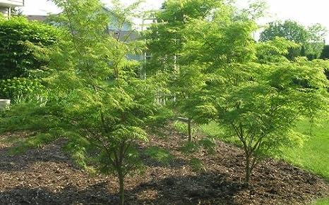 Amazon Com Green Japanese Maple Tree Live Plants Shipped 3 To