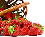 buy Seascape Everbearing Strawberry 10 Bare Root Plants - BEST FLAVOR now, new 2018-2017 bestseller, review and Photo, best price $12.50
