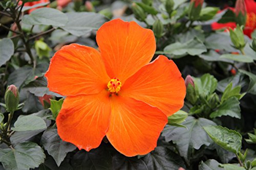 Costa Farms - Live Hibiscus Tropical Outdoor Plant in 3.00 qt Grower Pot, Orange Flowers by Costa Farms