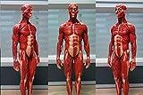 1/6 Scale PU Elastic Human Male Anatomy Model 12
