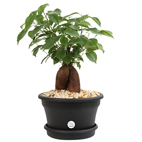 Costa Farms Ficus Bonsai Live Indoor Tabletop Plant in 6-Inch Plastic Pot -