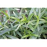 "Hardy French Tarragon Plant - Artemisia - 3"" Pot"