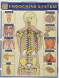 Endocrine System (Quick Study Academic)