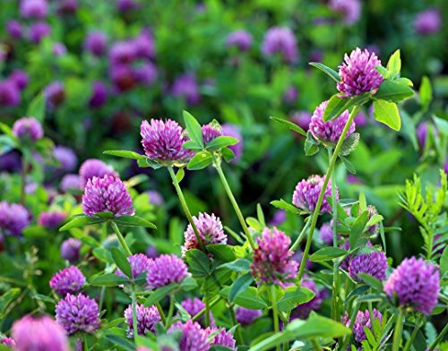 Food to Live Certified Organic Clover Seeds (Sprouting, Non-GMO, Kosher, Bulk) (50 Pounds) by Food to Live (Image #5)