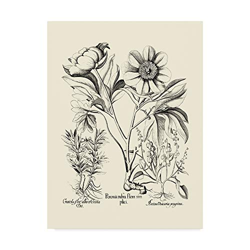 - Trademark Fine Art WAG00866-C1824GG Black and White Peony Iv by Basilius Besler, 18x24-Inch, 18x24 Multicolor