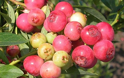 Homegrown Blueberry Seeds, 250, Pink Lemonade Blueberry](Lemonade Fruit Seeds)