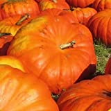 buy Everwilde Farms - 20 Cinderella Pumpkin Seeds - Gold Vault Jumbo Seed Packet now, new 2018-2017 bestseller, review and Photo, best price $2.50