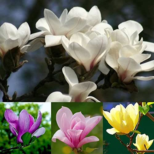 Narutosak 20Pcs Saucer Magnolia Fragrant Flower Tree Seeds Mixed Color Garden Decor Plant