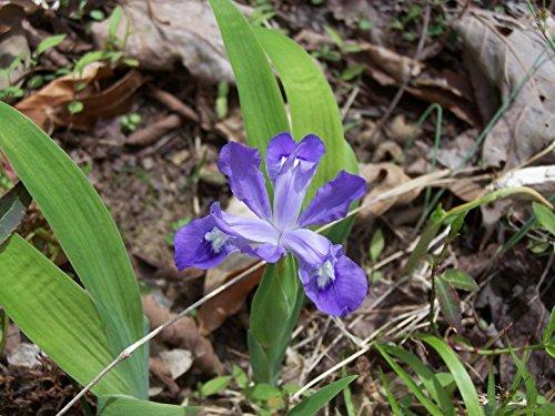 (10 Wild Iris bulbs)