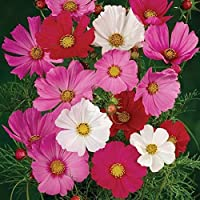 Flower Seeds - Cosmos Sensation Mix - Open Pollinated Non GMO - 500 Seeds