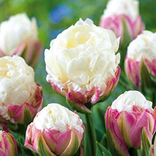 Topark Seeds – 50 Pcs Tulips Bulbs Seeds Colorful Flower Seeds Bonsai Tulips Garden Plants Garden Flowers Seeds Hardy Perennial for Garden Balcony/Patio