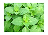 100+ ORGANICALLY Grown Indian Tulsi Holy Sacred Basil Seeds Tulasi Herb Heirloom Non-GMO Fragrant Grown in USA