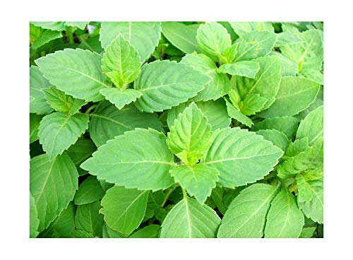 (100+ ORGANICALLY Grown Indian Tulsi Holy Sacred Basil Seeds Tulasi Herb Heirloom Non-GMO Fragrant Grown in USA)