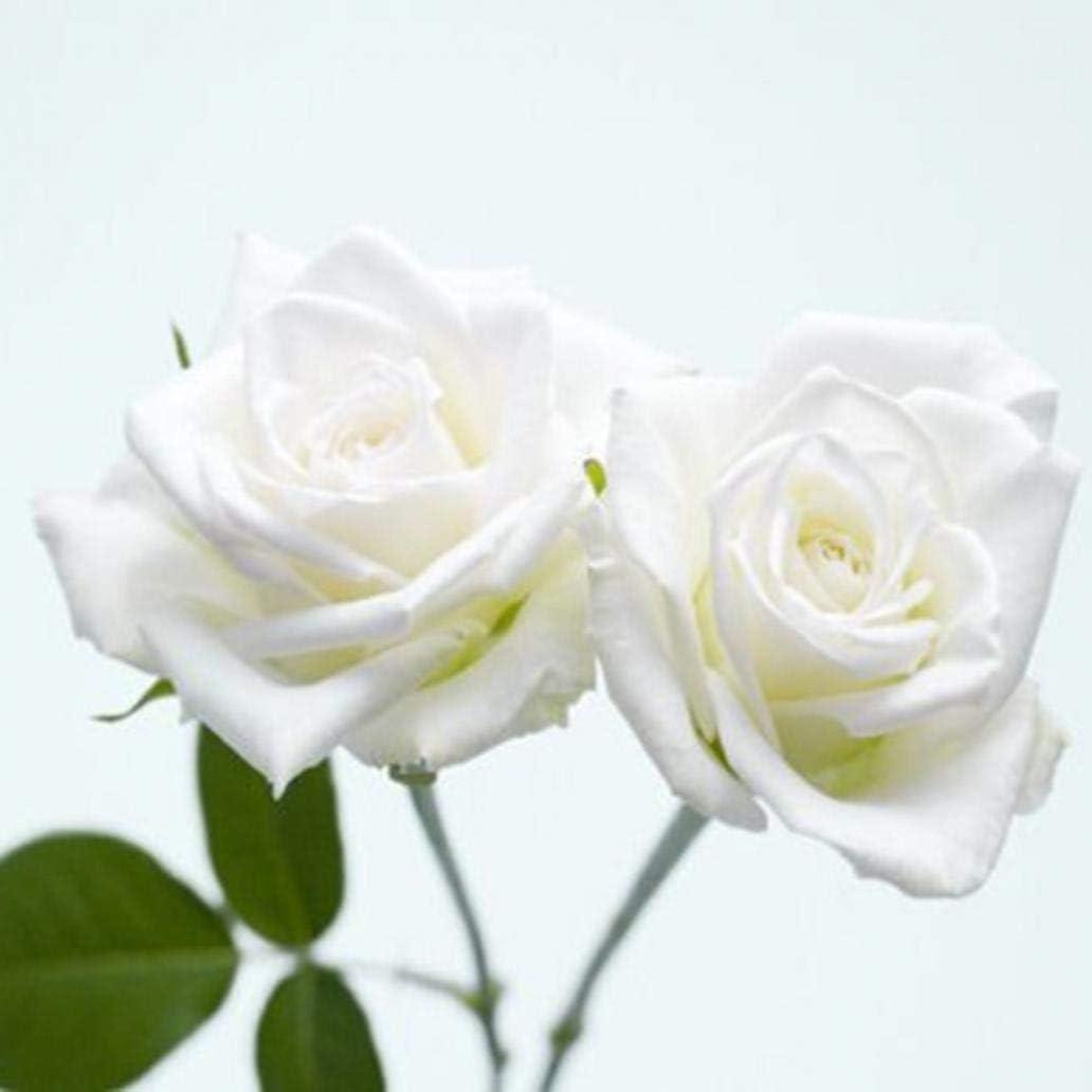 Uticon 100Pcs Fresh Rare Rose Seeds Flower Plant Home Garden Roof Bonsai Balcony Decor - Milk White Rose Seeds