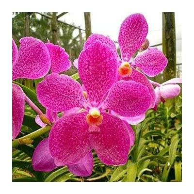 Phalaenopsis Bonsai Rare Beautiful Bonsai Flower DIY Home Flower Four Seasons Orchid Bonsai Bonsai Garden Plant 50 PCS - (Color: 7): Garden & Outdoor