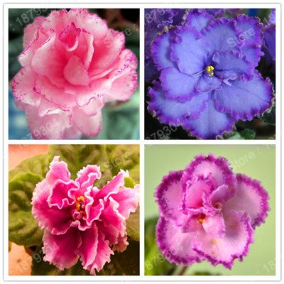- promotion African Violet flower seeds rare garden bonsai Perennial Herb flower seed variety complete mixed 24 colors 200pcs/bag