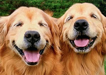 Amazon Com Two Smiling Golden Retrievers Avanti Funny Dog