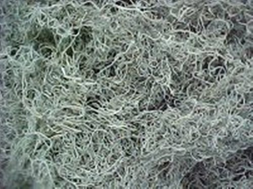 Spanish Moss Bulk 8 lbs Natural Real as seen down south