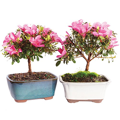 Brussel's Satsuki Azalea Bonsai - Medium - (Outdoor) - 2 - Azalea Bonsai