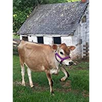 Cattle Halter Newborn Calf Yearling Cow Bull