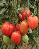 amish paste tomato - Heirloom Amish Paste Tomato Seeds by Stonysoil Seed Company