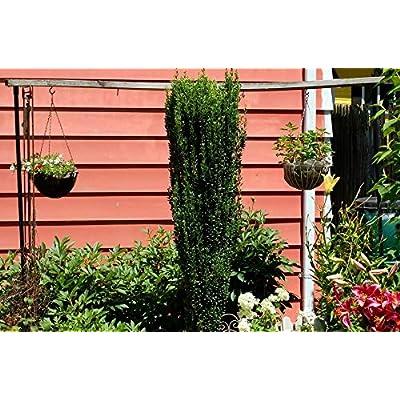 Sky Pencil Holly Quart Pot : Garden & Outdoor
