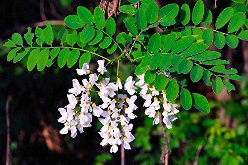 (BLACK LOCUST - 40 seeds - Robinia pseudoacacia - Tree - Bonsai SOW ALL YEAR bee )