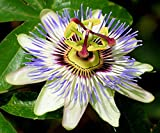 Blue Passion Flower 35 Seeds -Passiflora caerulea