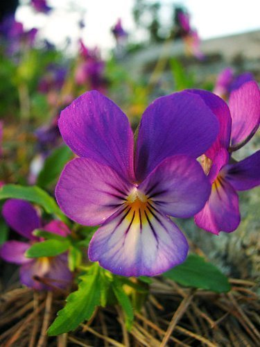 250 JOHNNY JUMP UP HELEN MOUNT Violet Viola Tricolor Flower Seeds