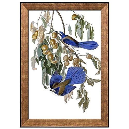 Illustration Inside of a Frame of an Aphelocoma Coerulescens Diospyros Virginiana by John James Audubon Framed Art