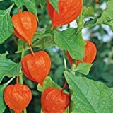 Outsidepride Chinese Lantern - 1000 Seeds