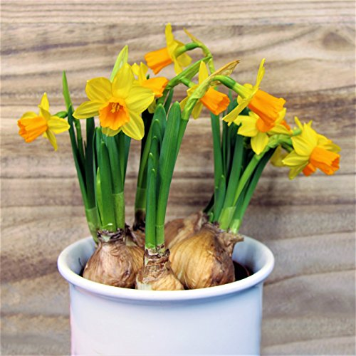 Sweet Petite Daffodil Bulbs Mix - Dwarf Narcissus Daffodil Mix - 7-14 cm Bulbs | Ships from Easy to Grow TM