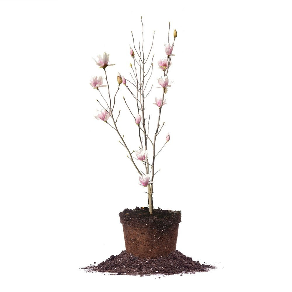 ALEXANDRINA Magnolia Tree - Size: 3 Gallon, Live Plant, Includes Special Blend Fertilizer & Planting Guide by PERFECT PLANTS (Image #1)