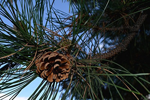 Home Comforts Peel-n-Stick Poster of Fir Pine Tree Nature Evergreen Cone Pinecone Poster 24x16 Adhesive Sticker Poster Print