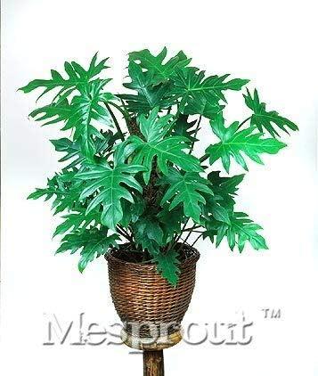 Piante Da Appartamento Rare.Pinkdose 100 Genuine Rare 100pcs 10 Tipi Mix Philodendron Bonsai