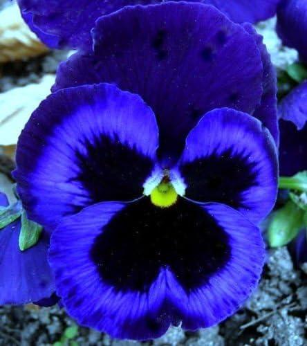 Viola Swiss Giant Ullswater Flower  Seeds