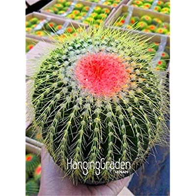 100 Pcs A Lot New Fresh Celestial Being Cactus Succulent Bonsai | Potted Plant Family Anti-Radiation Flower : Garden & Outdoor