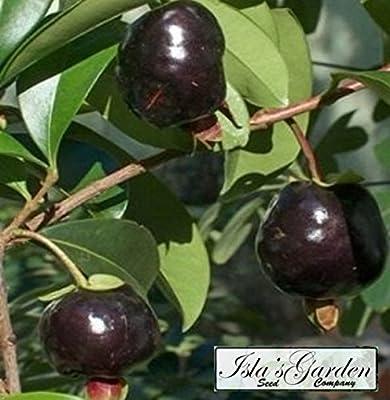 Black Cherry Fruit Tree Seeds - 35+ Premium Quality Tree Seeds - 85% Germination (Isla's Garden Seeds) Highest Quality Seeds.