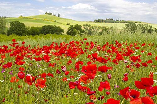 Tuscany, Italy - Poppy Field - Photography A-92491 (16x24 Giclee Gallery Print, Wall Decor Travel Poster)