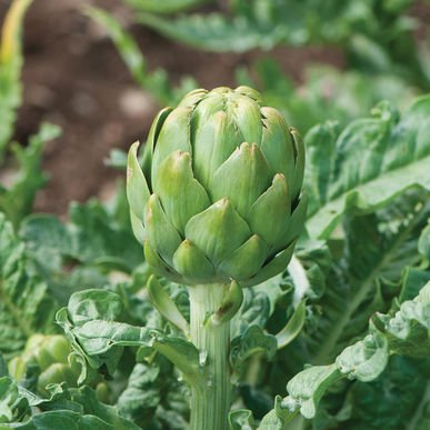 David's Garden Seeds Artichoke Royal Star D2120A (Green) 25 Organic Seeds