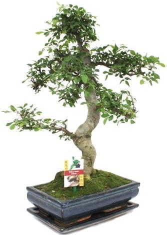 Bonsai orme de Chine - Ulmus parviflora - environ 12-15 ans