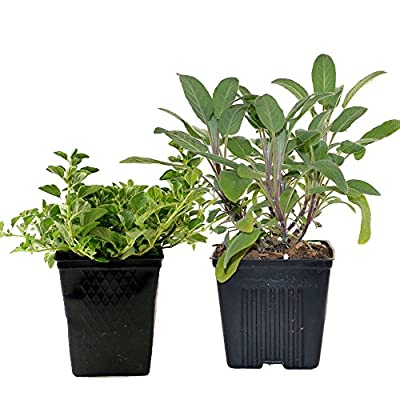 Live Sage and Oregano Plant - Set of 2 Hardy Herb Plants Grown Organic Non-GMO USA Great Container Herbs Shipped Potted