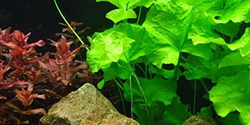 Tropica Nymphoides hydrophylla ''Taiwan''  Live Aquarium Plant - In Vitro Tissue Culture 1-2-Grow!