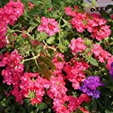 Verbena Rose Ground Cover Seeds (Verbena Hybrids Nana Compacta) 50+Seeds