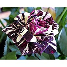 Black Dragon Rose Seeds Bush Flower Seeds - Treasuresbylee Exclusive