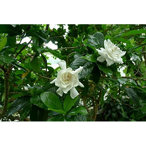 1 Well Rooted Of Miami Supreme Gardenia, Jasminoides Cheap