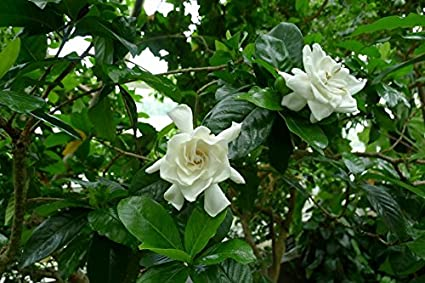 Gentil 1 Well Rooted Of Miami Supreme Gardenia, Jasminoides