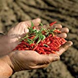 50 Seeds,african Bird's Eye Chili Aka Malawi Bird Chili,piri Piri&african Devil